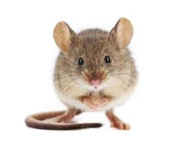 Biohazard How to Safely Clean Mice Droppings